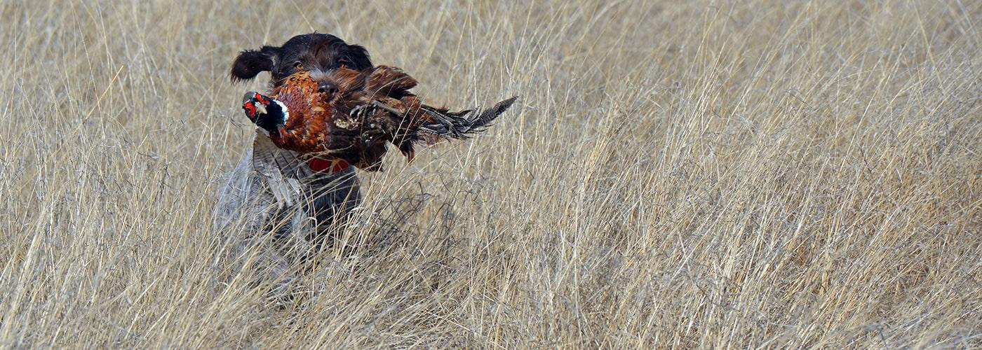 Fousek retrieving pheasant