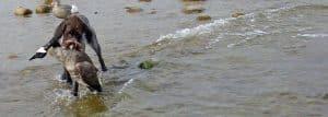 Fousek retrieving goose