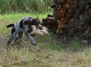 Young dog with pheasant