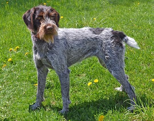 grey, liver-ticked dog